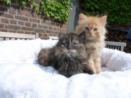 wunderschöne Deutsch Langhaar Kitten suchen ihre neue Familie