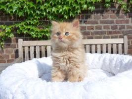 Foto 2 wunderschöne Deutsch Langhaar Kitten suchen ihre neue Familie