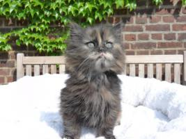Foto 3 wunderschöne Deutsch Langhaar Kitten suchen ihre neue Familie
