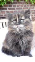 Foto 5 wunderschöne Deutsch Langhaar Kitten suchen ihre neue Familie