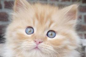 Foto 6 wunderschöne Deutsch Langhaar Kitten suchen ihre neue Familie
