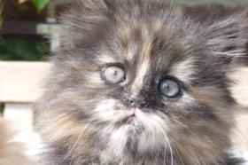 Foto 7 wunderschöne Deutsch Langhaar Kitten suchen ihre neue Familie