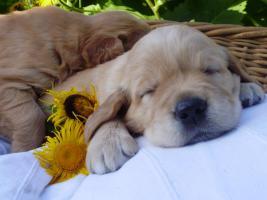 Foto 2 wunderschöne Golden Retriever Welpen