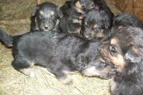 Foto 4 wunderschöne Hundewelpen -Eigenzucht)