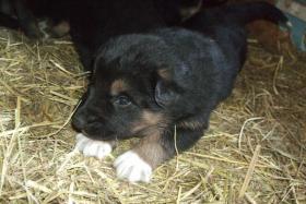 Foto 5 wunderschöne Hundewelpen -Eigenzucht)