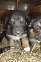 Foto 6 wunderschöne Hundewelpen -Eigenzucht)