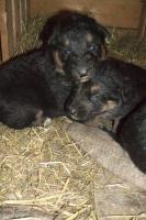 Foto 7 wunderschöne Hundewelpen -Eigenzucht)