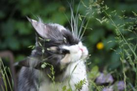 Foto 6 wundersch�ne Maine Coon Happy ( Explorer's Saphir)