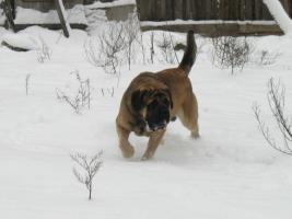 Foto 3 wunderschöne Old Englisch Mastiff Welpen