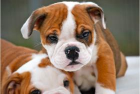 Foto 2 wunderschöne englisch. Bulldoggen-Welpen