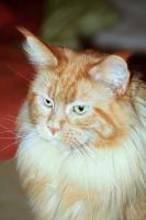 wunderschöne sehr liebe rote reinrassige Maine Coon Katze mit Stammbaum