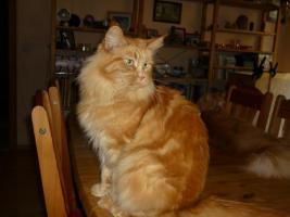 Foto 3 wunderschöne sehr liebe rote reinrassige Maine Coon Katze mit Stammbaum