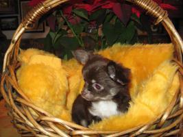 wundersch�ner Chihuahua-Welpe
