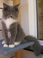 wundersch�ner blue white Maine Coon Kater (6 Monate) m.P.