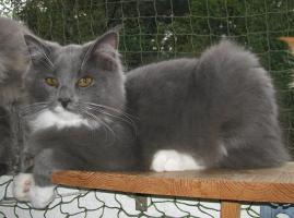 Foto 2 wundersch�ner blue white Maine Coon Kater (6 Monate) m.P.