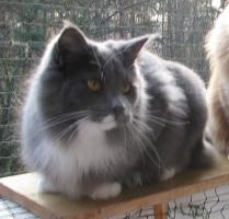 Foto 4 wundersch�ner blue white Maine Coon Kater (6 Monate) m.P.