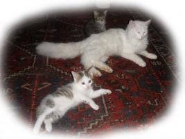 Foto 5 wuschlige Angora-Katerchen