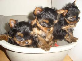 Foto 3 yorkshir babys