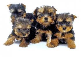 Foto 2 yorkshire terrier