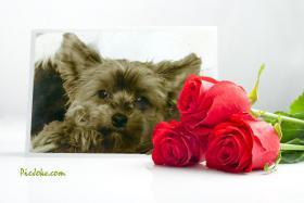 yorkshire terrier Hündin