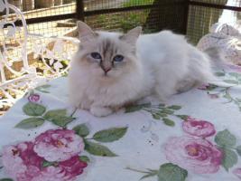 zauberhaft schöne Heilige Birma Katzen