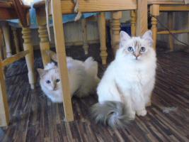 Foto 2 zauberhaft schöne Heilige Birma Katzen