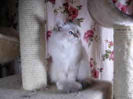 Foto 4 zauberhaft schöne Heilige Birma Katzen