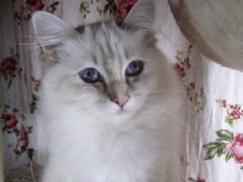 Foto 5 zauberhaft schöne Heilige Birma Katzen