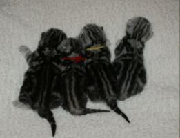 Foto 2 zauberhafte Britisch Kurzhaar Babies in black-silver-tabby-classic