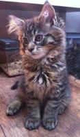Foto 2 zuckersüße Maine Coon Kitten abzugeben