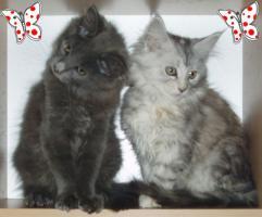 zuckersüße reinrassige Maine Coon Kitten