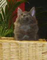 Foto 2 zuckersüße reinrassige Maine Coon Kitten