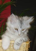 Foto 3 zuckersüße reinrassige Maine Coon Kitten