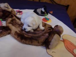 Foto 2 zuckersüße reinrassige Malteser Babys zu verkaufen