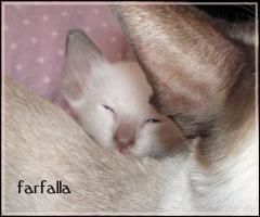 zuckersüße, reinrassige Siam Katzen Kinder
