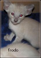 Foto 4 zuckersüße, reinrassige Siam Katzen Kinder