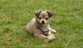 zuckersüßes Chihuahua-Hündchen reinrassig sucht Familie zum kuscheln