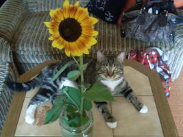 Foto 2 zwei liebe Katzen in liebevolle H�nde abzugeben