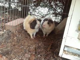 zwei liebe Meerschweinchen (Böcke ) aus Aussenhaltung