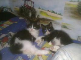 zwei s�sse katzenbabys(kater) zuverkaufen