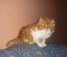 Foto 2 zwei süße rot  tabby weisse Perserkaterchen
