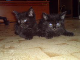 zwei süße schwarze kater ab zu geben