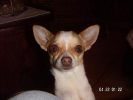 Foto 3 zwergpinscher mix chihuahua