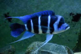 1 Pärchen Cyphotilapia Gibberosa Blue Zaire Moba