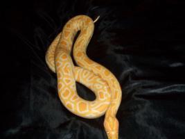 1 albino tiegerpython zu verkaufen
