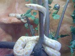 Foto 3 1 albino tiegerpython zu verkaufen