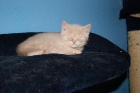 Foto 3 1 süsses BKH Monster mit Papiere geboren am 11.11.10
