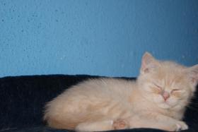Foto 4 1 süsses BKH Monster mit Papiere geboren am 11.11.10