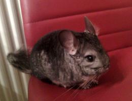 Foto 2 10 Monate altes Chinchillaböckchen zu verschenken!!!