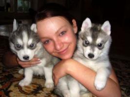Foto 2 100% Reinrassige Siberian Husky Welpen mit VDH/DCNH/FCI-Papieren!